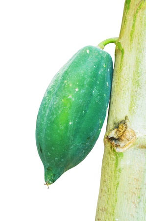 The green papaya is attached to the trunk. Isolated on white.
