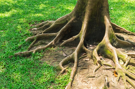 The root of the tree in the green grass. photo