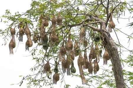 Baya weaver bird nest at a branch of the tree photo