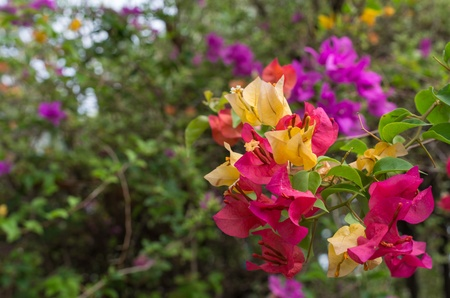 Bougainvillea, beautiful colorful flowers in the summer. photo