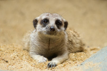 Meerkat is lying flat on the ground. His eyes staring at cute. photo
