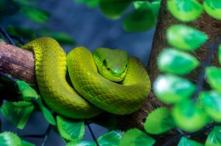 Venomous green viper close-up portrait photo