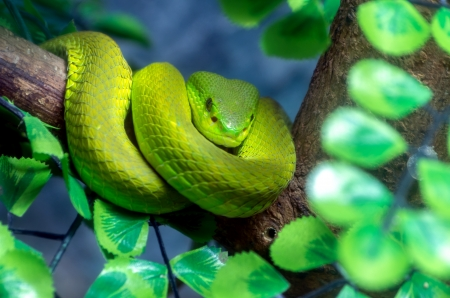 full suspended: Venomous green viper close-up portrait