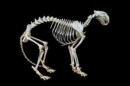 Tiger skeleton. Isolated on black background, with clipping path included.  photo