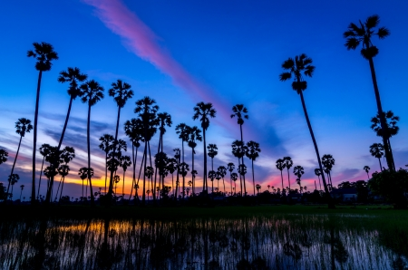 Landscape silhouette sugar palm tree on rice fields in the evening  photo