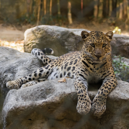 Leopard on the Rock. Find mater staring eyes. photo
