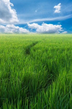Paddy rice field under blue sky. Beauty nature background photo