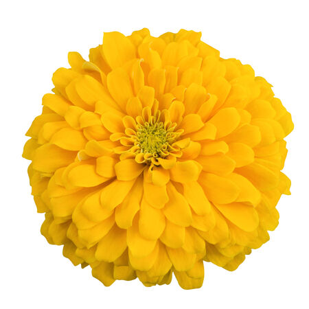 Yellow chrysanthemum selected. Isolated on white background. photo