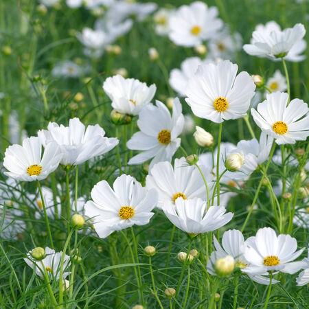 Schöne Weiße Blume Kosmos Im Garten. Lizenzfreie Fotos, Bilder Und ...