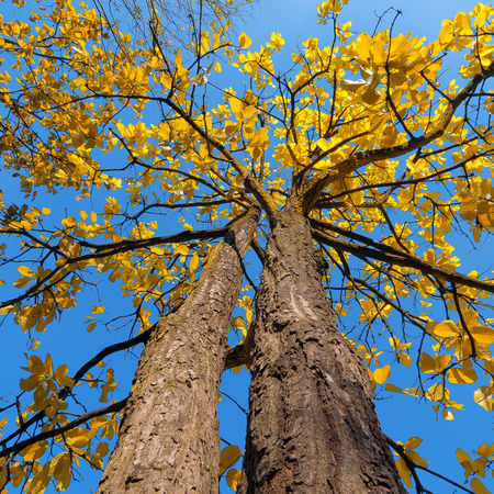 perk: Tree with yellow leaves, the daytime sky. Perk up view Stock Photo