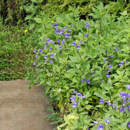 arose: Blue Hawaii or Otacanthus coeruleus A.Rose focus on the petals in the garden.