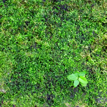Green seedlings growing from seeds on the moss. photo