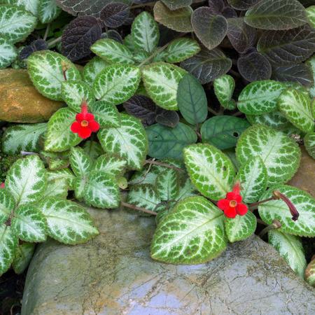 hants: Episcia cupreata (Hook.) Hants) as native plants in Colombia, Venezuela, Peru, Brazil, shoots reddish brown, silvery gray leaves, flowers red cone. Stock Photo