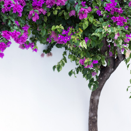 Pink bougainvillea. Ivy on a white wall. photo