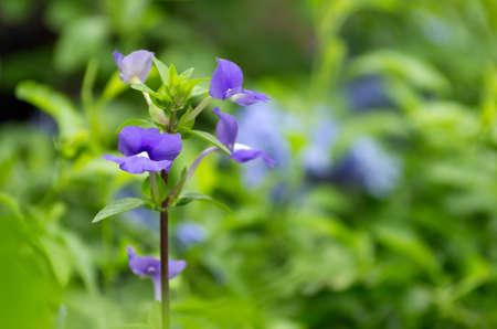 arose: Blue Hawaii or Otacanthus coeruleus A.Rose focus on the petals.