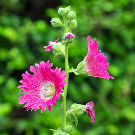 Hollyhock Flower in the garden, focus on flowers. photo