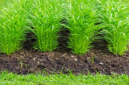 convolvulus: Water Convolvulus is row beautiful plot Ready for harvest.