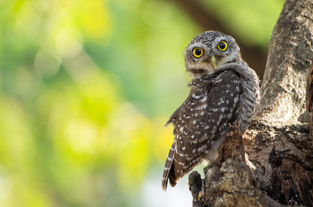 glaring: Little Owl is glaring, It is located on a hollow tree.