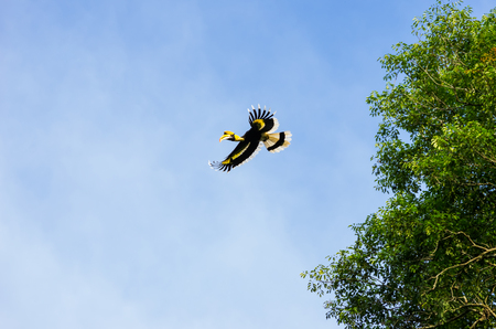 kaeng: Bottom view of flying Great hornbill (Buceros bicornis) in Kaeng Krachan National Park, Phetchaburi, Thailand.