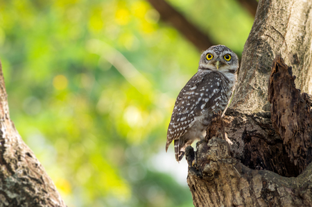 athene: Little Owl is glaring, It is located on a hollow tree.