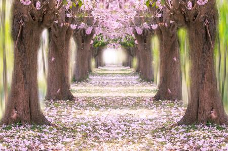 The romantic tunnel of pink flower tree, Pink trumpet tree. Archivio Fotografico