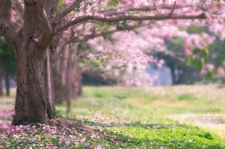 De romantische van roze bloem boom, Pink trompet boom. Stockfoto