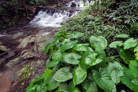 esculenta: Sam lan waterfall in deep forest Colocasia esculenta has green leaves foreground, saraburi Thailand.