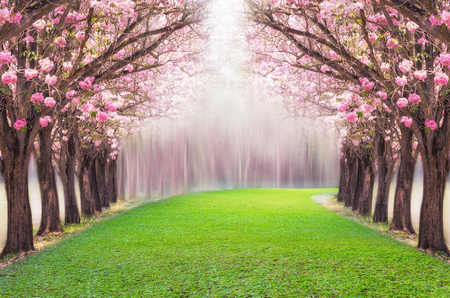 핑크 꽃 나무, 핑크 트럼펫 나무의 낭만적 인 터널. 스톡 콘텐츠
