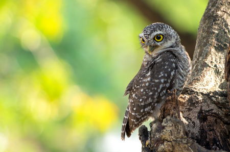 Little Owl is glaring, It is located on a hollow tree.