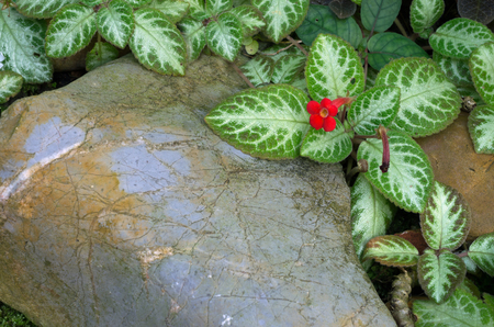 Episcia cupreata (Hook.) Hants) as native plants in Colombia, Venezuela, Peru, Brazil, shoots reddish brown, silvery gray leaves, flowers red cone. Stock Photo