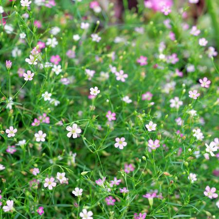 Closeup many little gypsophila pink flowers background.