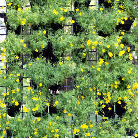 arbitrario: Yellow daisies in pots arbitrary black plastic hanging on the wall. Background