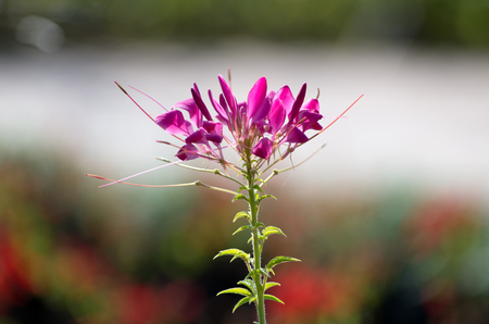 Cleome Spinosa Flower in the graden.