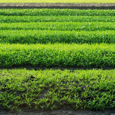 Rows of Vegetable plot growing beautifully.