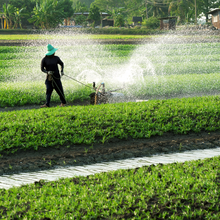 Asian gardener was watering the rows of Vegetable plot growing beautifully.