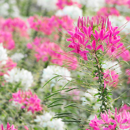 Cleome spinosa or spider flower For background Stock Photo