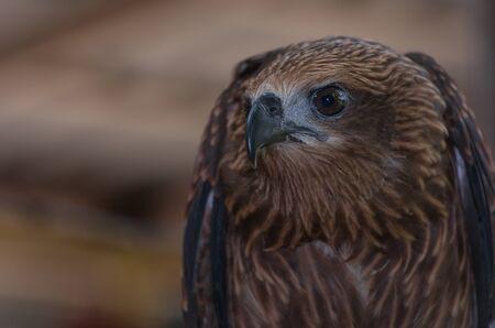 Black kite, Bird of prey, Birds in Thailand. Stock Photo