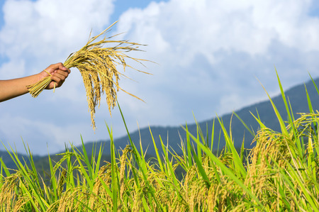 Yellow grain in the hands of farmers. Natural background blurred. Stock Photo