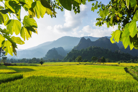 bali province: Fields of golden rice in Nan, Thailand.
