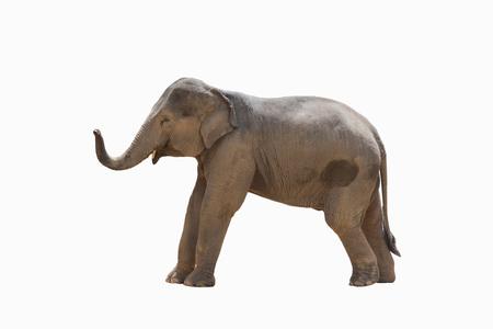De olifant van Azië op wit wordt geïsoleerd dat