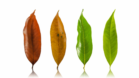 Set Autumn Color leaves isolated on white background Leaves of Longan.