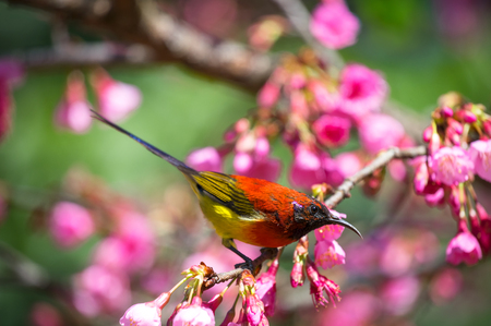 Nectariniidae (Mrs. Goulds Sunbird, Blue-throated Sunbird) A beautiful small bird in the mountains during the Wild Himalayan Cherry bloom at Doi Ang Khang, Chiang Mai, Thailand. 写真素材