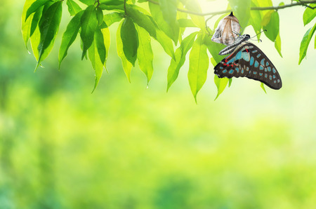 Amazing moment about butterfly change form chrysalis. Stockfoto - 100989976