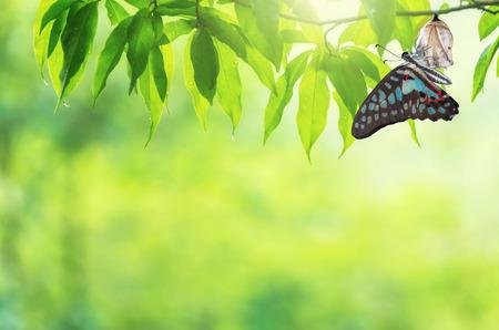 Erstaunlicher Moment über Schmetterlingswechsel von Puppe. Standard-Bild