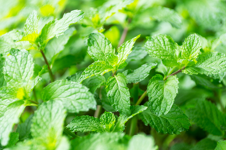 Lemon balm or balm mint, is a perennial herbaceous plant in the mint family Lamiaceae and native to south-central Europe, the Mediterranean Basin, Iran, and Central Asia.
