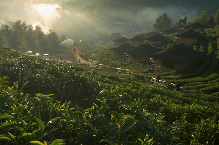 Morning tea plantation at Ban Rak Thai a Chinese settlement, Mae Hong Son, province Northern Thailand. 写真素材