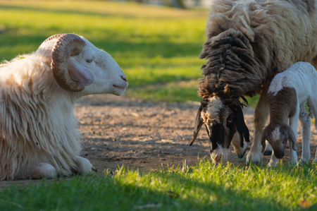 Lovely sheep family, parents and children on the green meadow. The sun is getting warm.