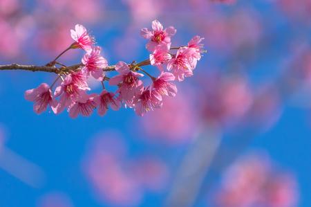 Sukura festival, Himalayan Cherry Blossom , also call sakura in Phu lom lo beautiful mountain at Loei , Thailand. Stock fotó