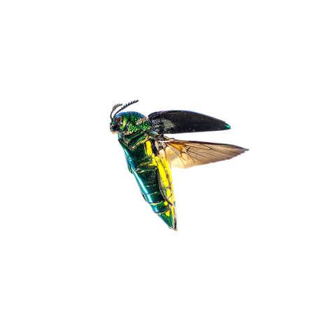 Beautiful Jewel Beetle or Metallic Wood-boring (Buprestid) isolated on white background.