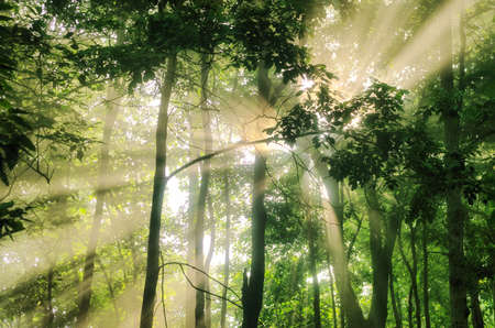 Green forest of deciduous trees with the sun casting its rays of light through the foliage, forest trees nature green wood sunlight view, sun rays shine through trees.